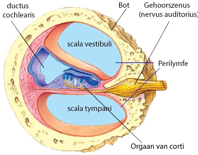 anatomie afbeelding slakkenhuis